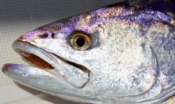 White Seabass Daily Limits Increase