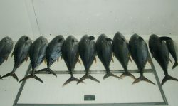 Limits of Yellowfin