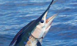 Great Fall Marlin Fishing